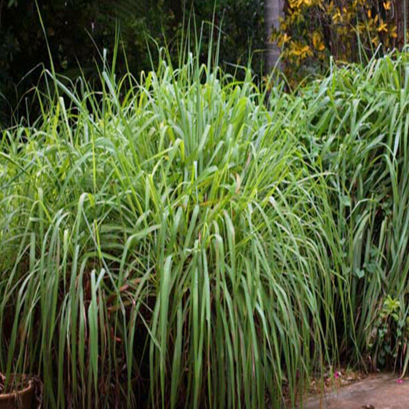 100pcs-LemonGrass-Seeds-Cymbopogon-Seed-Herbs-Vegetable-bonsai-plant-DIY-home-garden (5)