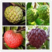 10 pcs fruit Custard apple Buddhas head tree plant Rare Giant Cherimoya for home garde