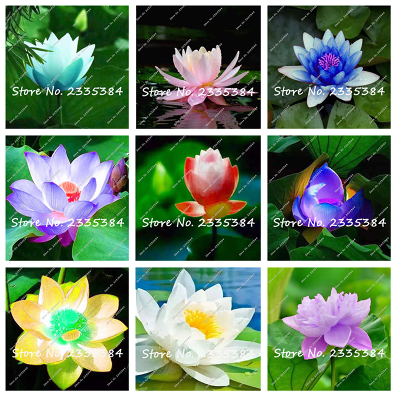 5 pcs Mix flower seeds lotus seeds Water lily flower Bo