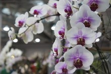 100PCS orchid-seed FLOWER seeds for home garden  Phalaenopsis orchid seeds buy-direct-from-china orquidea semente