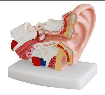 Stołowy ucha model anatomiczny człowieka model ucha 1 5 razy rozszerzonej średniej model ucha anatomiczny ucha ludzkiego tanie i dobre opinie Nauki medyczne Model szkieletu Oyimrhjdg