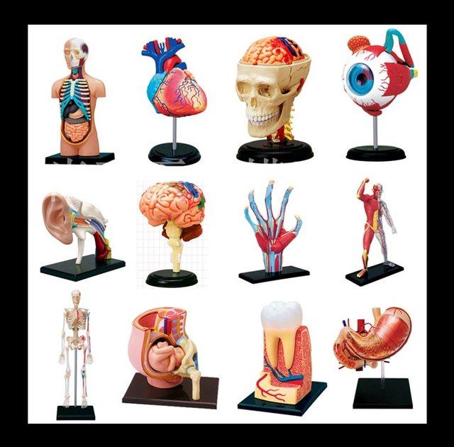Online-Shop 4D MASTE menschliche auge, ohr, knochen, hand, muskeln ...