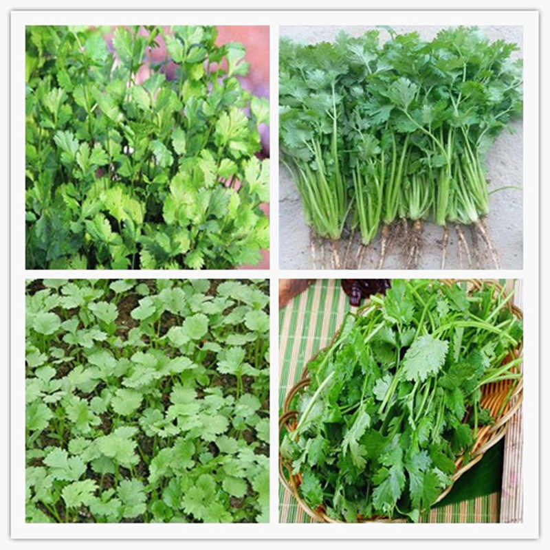 200 Pcs Parsley Bonsai Concentrated Flavor And Tender Crisp Celery Bonsai small home garden cultivati Free Shipping