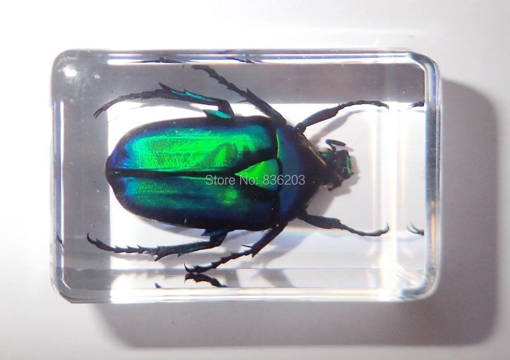Black Stripe Green Rose Chafer Beetle Rhomborrhina resplendens Learning Specimen
