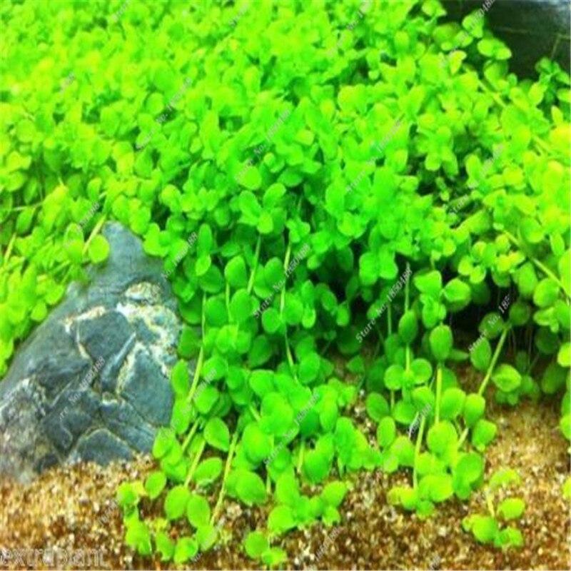 Aliexpresscom Buy 500 Pcs Rare Live Aquarium Plants Baby Tears