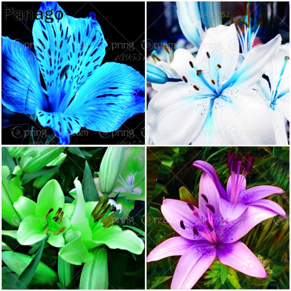 Aliexpress Buy 100pcsbag Multi Color Lily Flower Potted
