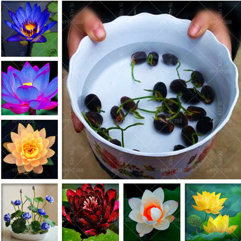 5 pcs Aquatic Plants Flower Bowl Lotus Water Lilies Lotus plant 100% Genuine Rainbow plant Hydroponic Plants Flower Bonsai