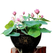 flower lotus for summer 100% real Bowl pots Bonsai garden plants 5/bag