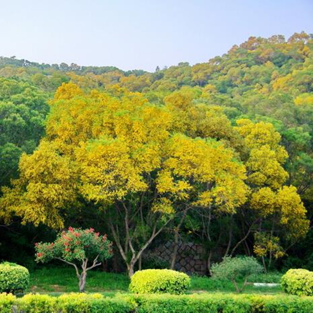 Potted Plant Tree Seeds Golden Acacia Seeds Bonsai Home U0026 Garden 100g / Bag