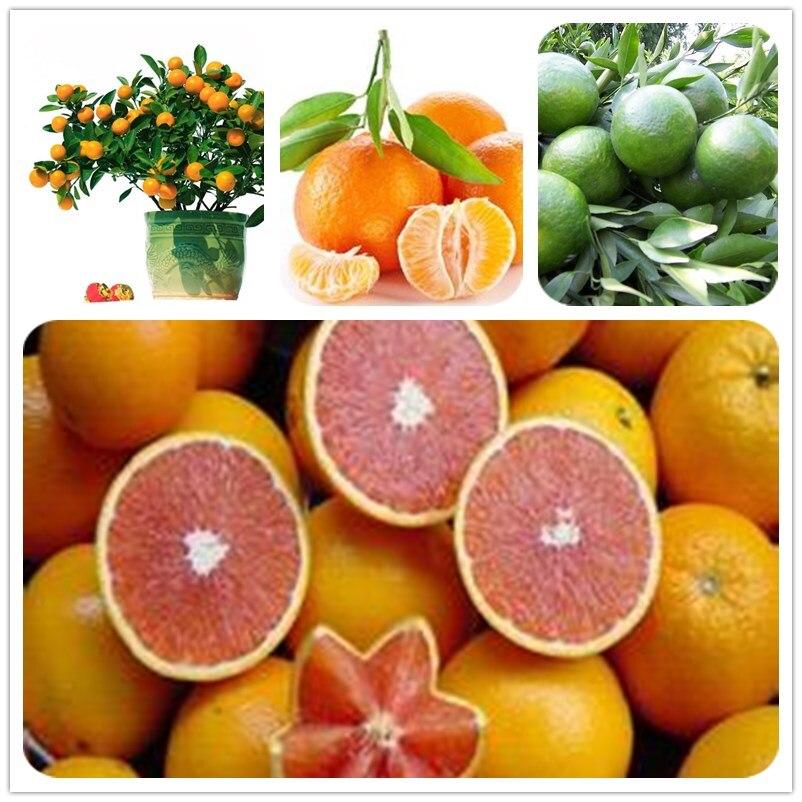 20pcs Edible Fruit Mandarin Bonsai Tree Seeds Citrus Bonsai Mandarin Orange Seeds Potted plants For Home Garden Free Shipping