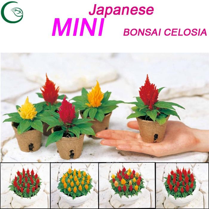 2015 new japanese rainbow mini novel celosia yukata bonsai for Small indoor flowering plants