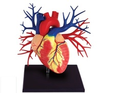 1:1 4D MASTE corps humain composition structure modèle éducatifs, puzzle jouets coeur coupe modèles