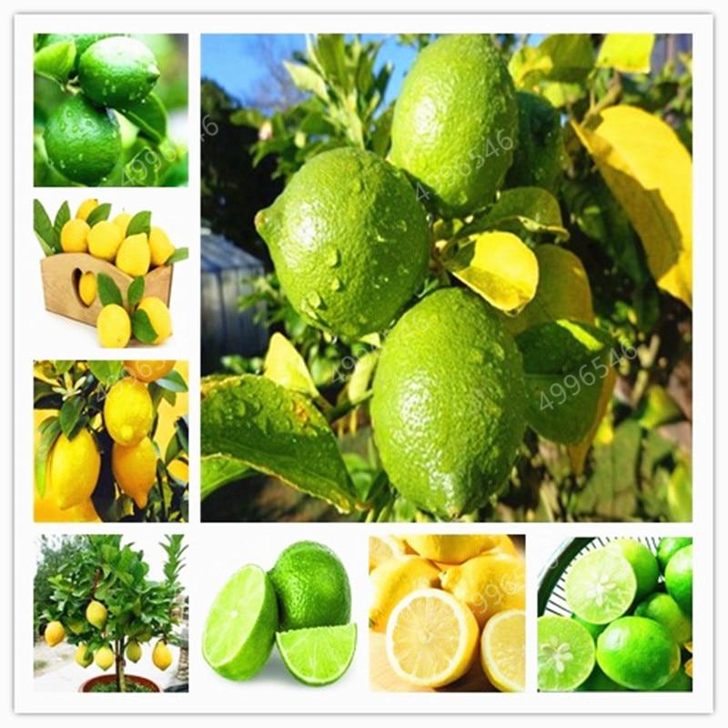 20pcs Bonsai Lemon Tree Bonsai High Survival Rate Fruit Tree Bonsai For Home Gatden Backyard Free Shipping