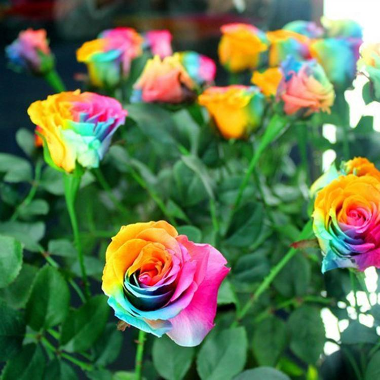 200pcs rare seeds holland rainbow rose flower home garden