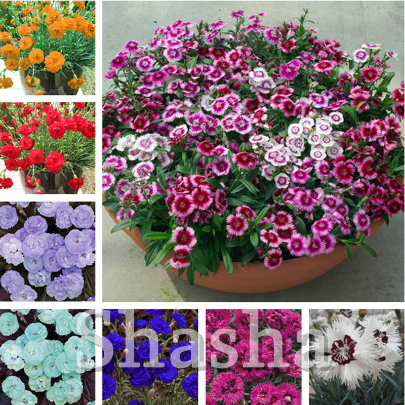300 Pcs Exotic Multicolored Dianthus Caryophyllus Bonsai Balcony Carnation Perennial Flower For Home Garden Pots Planter