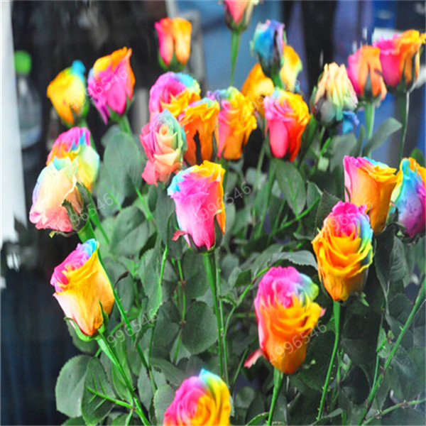 100Pcs-bag-Amazingly-Beauty-Rose-Bonsai-Flower-With-Red-Edge-Seedling-Rare-Color-Popular-Garden-Perennial