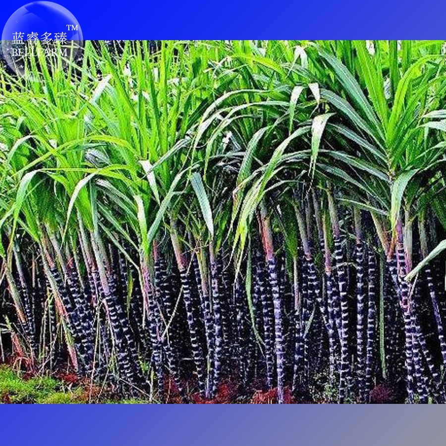 Online Buy Wholesale sugar cane plants from China sugar