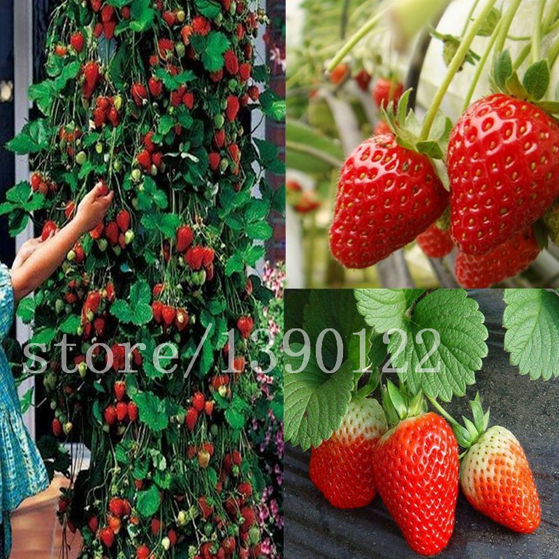 300 pcs climbing strawberry seeds big strawberry delicious fruit and vegetable seeds for home garden NO-GMO strawberry tree