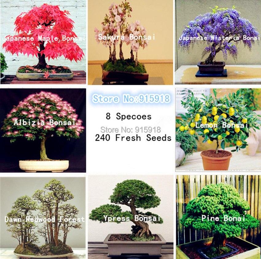Bonsai seeds 8 packs Bonsai Tree Seeds Pine,maple bonsa