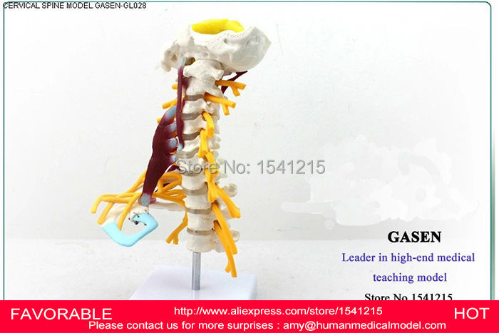 HUMAN ANATOMICAL CERVICAL VERTEBRA MEDICAL MODEL MUSCLES NERVES, THE HUMAN SKELETON SPECIMEN MODEL-GASEN-GL028 human larynx model advanced anatomical larynx model