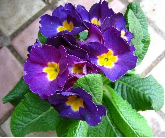 Mix order $5 Free shipping Flower seed primrose Primula vulgaris seeds potted flowers Home & Garden