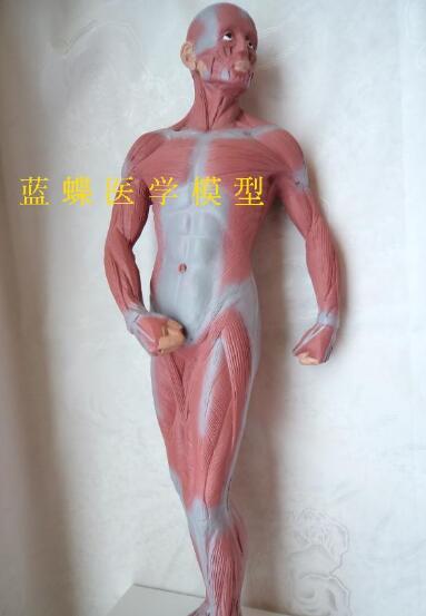 Human body muscle anatomy model teaching   model medical teaching tool 50CM PVC materialHuman body muscle anatomy model teaching   model medical teaching tool 50CM PVC material
