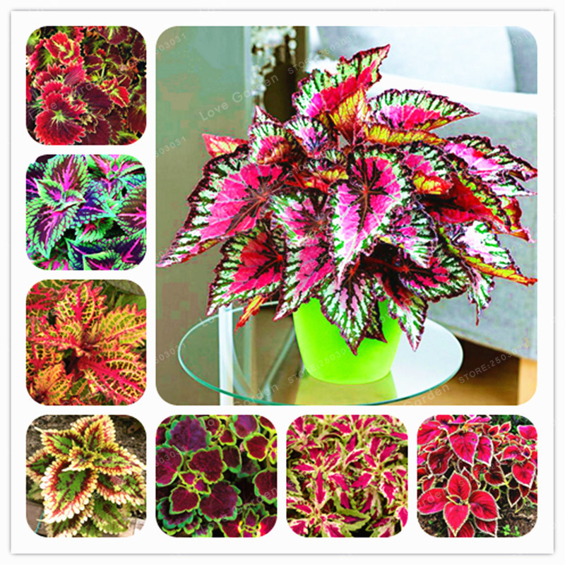 50PCs Chinese Bonsai Coleus Bonsai Mini Foliage Plants Perfect Color Home Grass Pot Planter For Garden Decoration