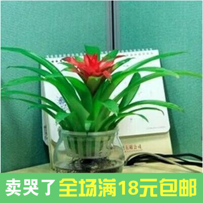 Opportunity Knocks Pinele Plant Flowers Potted Plants Indoor High Grade Long Red