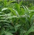 5 unids/lote Cardamomo Negro (Amomum Subulatum) semillas de Vainilla, hierbas culinarias, especias sabor planta de los bonsai jardín de su casa
