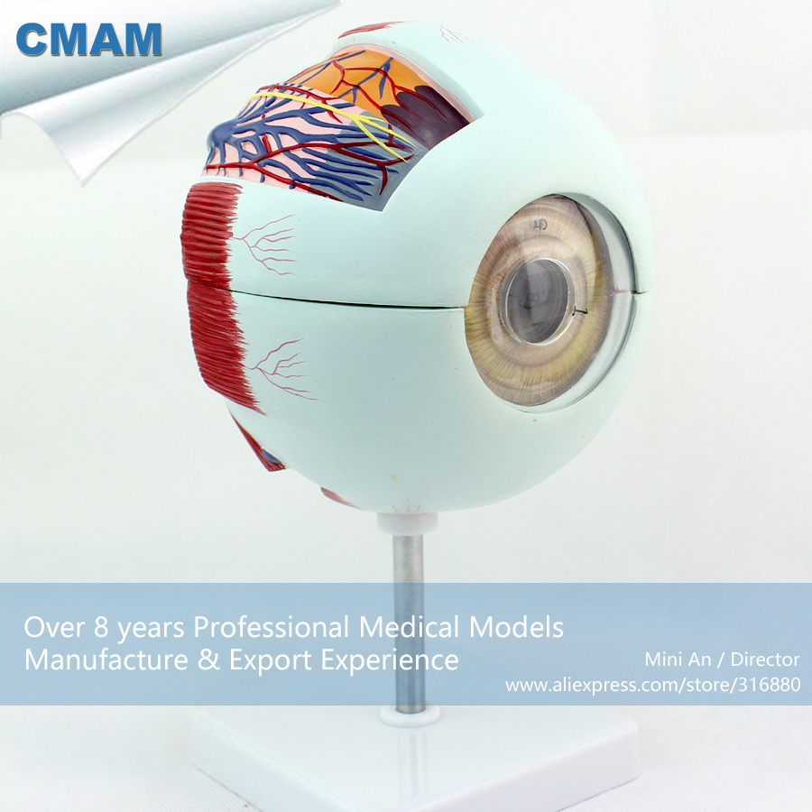 12525 CMAM-EYE01 Oversize 6x Life Size Human Anatomy Eyeball Model,  Medical Science Educational Teaching Anatomical Models 12400 cmam brain03 human half head cranial and autonomic nerves anatomy medical science educational teaching anatomical models