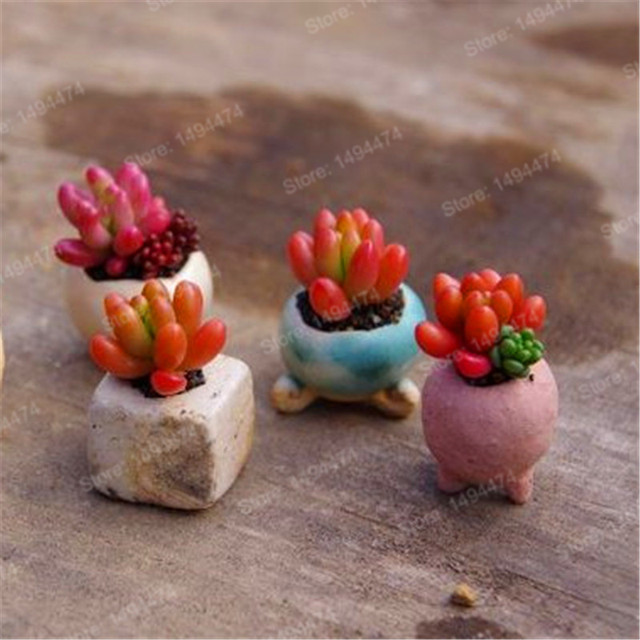 Meaty Plant Flower Succulent Seeds (1000 Pieces)