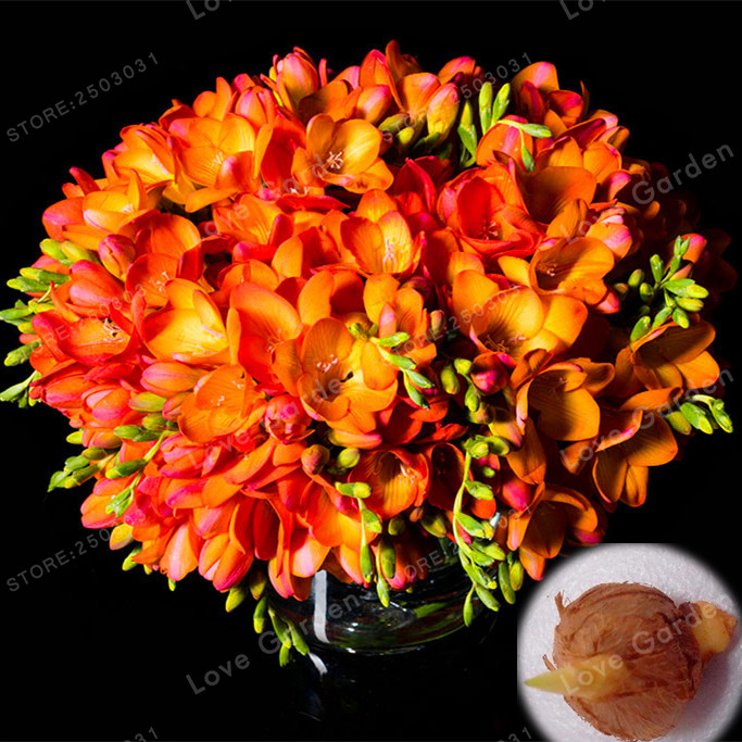 2 Bulbs True Freesia Bulbs Indoor Potted Flowers Orchids,Floral Quiet Home Garden Plant Flower Bulbs  (It Is Not Seed)