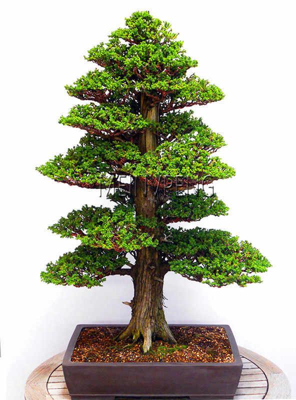 Big Sale!28PCS/BAG rare tree bonsai for home bonsai JAPANESE CEDAR Semillas  bonsai plant,#S12NKA