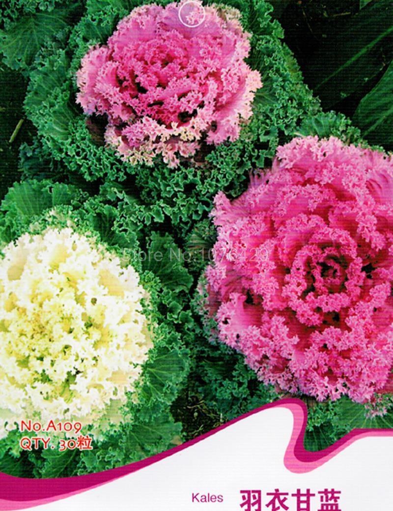Kales Seeds Brassica Oleracea Collard Greens Flower G T