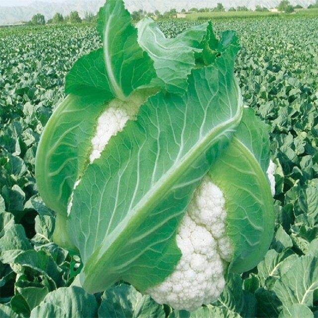 Tianshan Snow Cauliflower Seeds Vegetable 10seed