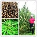 100 Unids Semillas de Cáñamo, Semillas de cáñamo Secado Té Verde A la Debilidad de La Medicina con Estreñimiento Intestinal, Bonsai Planta de Maceta