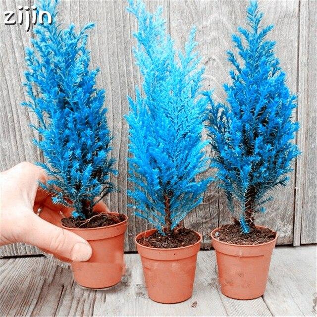 50 piezas de árbol de ciprés azul italiano interior escritorio exterior plantas ornamentales árbol de Navidad raro perennes Macetas