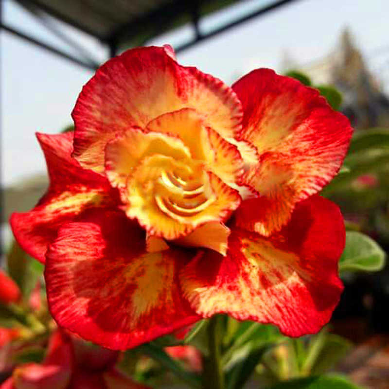 New Fresh Unique Gold Red Mixed Desert Rose Home Garden Flowers 100% True Adenium Obesum 1 PCS