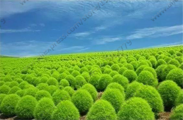 Kochia Seeds Burning Bush Green Kochia Scoparia Rare Bonsai Plant seeds for Home Garden Outdoor flower 200seeds/bag