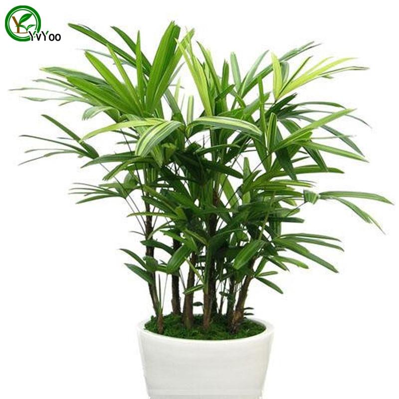 Indoor Bamboo Plants Sale