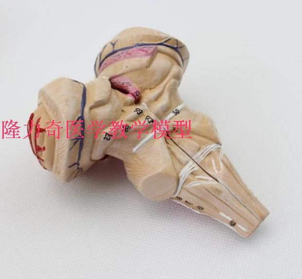 Menschlichen medizin Gehirn anatomie modell hirnarterien hirnstamm ...