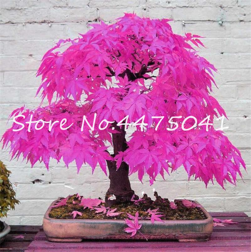 50 Pcs Rainbow Maple Bonsai Tree Plants. Rare Japanese Maple, Bonsai Flower Indoor Tree Plant In Family Garden 24 Kinds Colors