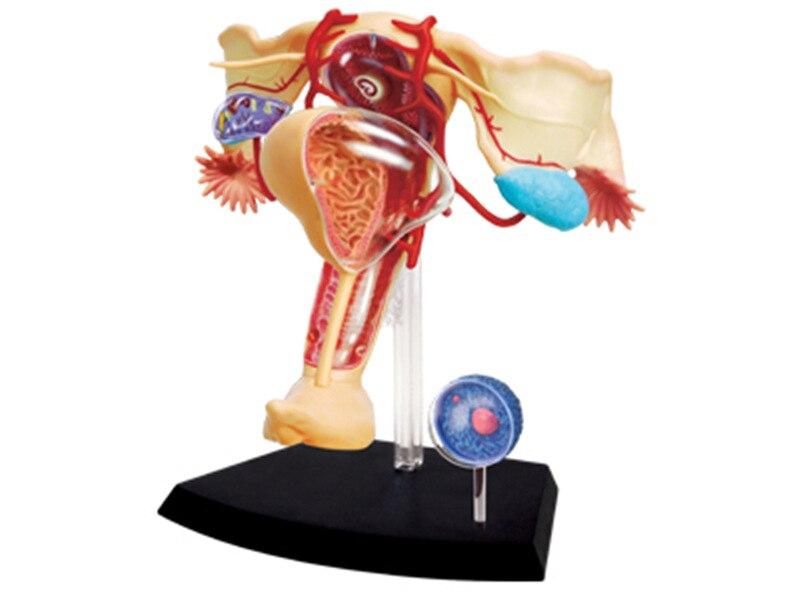 4D 1:1 Des Organes Reproducteurs Féminins Assemblage Maître Casse-Tête Jouets Modèle D'enseignement Médical Mannequin Science Modèle Anatomique