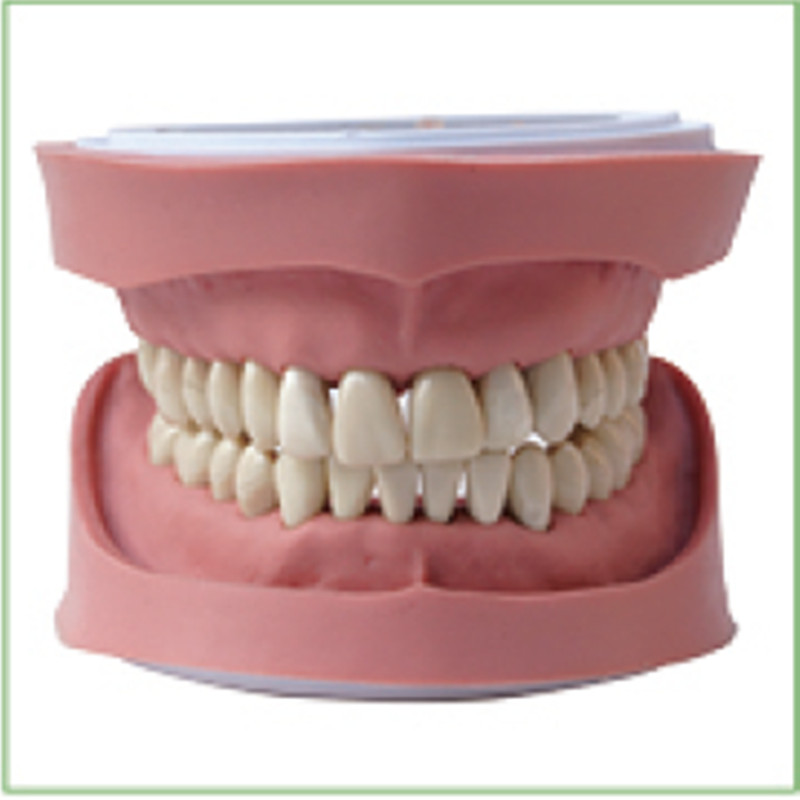 1pc Standard K Study Model teeth models Teeth Jaw Models for dental school teaching dentist dental teeth Models 13007 dh106 hard gum 32pcs teeth standard jaw model medical science educational dental teaching models