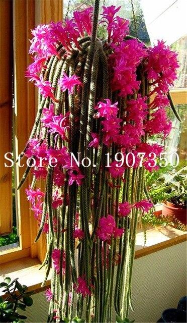 100 pz pianta Rampicante Echinopsis Tubiflora Fioritura Cactus bonsai pianta di Fiori Rari Perenni Ornamentali Mini Pianta Grassa