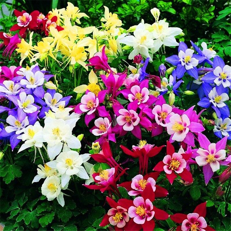 100-semillas-pack-auténtico-Aquilegia-semillas-rara-vegetales-semillas-de-plantas-de-flor-13-colores-para.jpg (800×800)