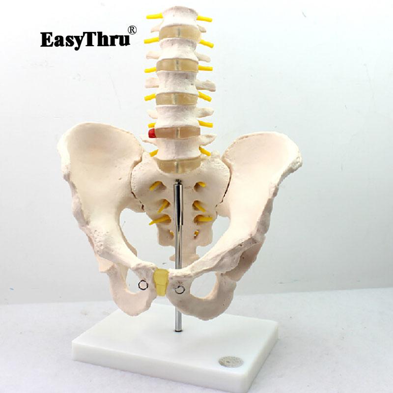 Human Model with Five-section Lumbar Vertebrae Model Lumbar Spin Lumbar Spine Intervertebral Disc Pelvis Skeleton ModelHuman Model with Five-section Lumbar Vertebrae Model Lumbar Spin Lumbar Spine Intervertebral Disc Pelvis Skeleton Model
