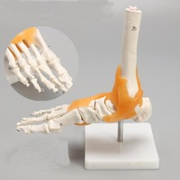 Human 1:1 Skeleton Ligament Foot Ankle Joint Anatomi cal Anatomy Medical Model Human Statues Sculptures High Quality