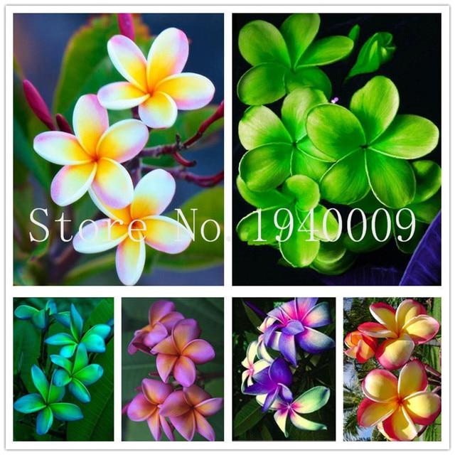 100 piezas casa jardín Frangipani Color mezclado Plumeria Rubra flor bonsái decoración Romance huevo flores Bonsai planta hogar jardín