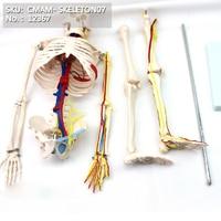 Cمام/12367 85 هيكل عظمي ، الأوعية الدموية + القلب ، هيكل عظمي كامل الطبية نموذج تشريحي الإنسان|العلوم الطبية|لوازم المكتب واللوازم المدرسية -